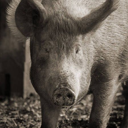 ef4b6ad868_21068_Cochon-Porc-lisier_Keith-Marshall-CC-ba-nc-sa_01
